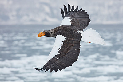 Steller's Sea Eagle, Haliaeetus pelagicus, flying across frozen bay in winter - p1100m1520170 by Mint Images