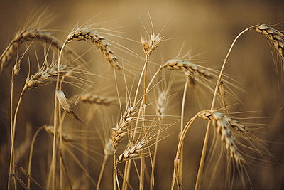 Close-up of wheat growing on field during sunset - p300m2023912 by Aitor Carrera Porté
