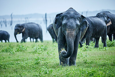 Asian elephant grazing against herd at Kaudulla National Park - p300m2131777 by Christian Vorhofer