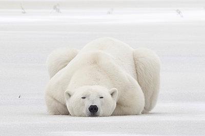 Polar Bear male resting on ice, Hudson Bay, Manitoba, Canada - p884m1356778 by Matthias Breiter