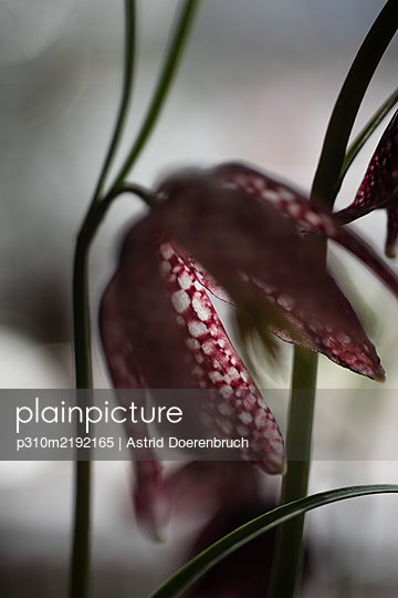 Checkered lily - p310m2192165 by Astrid Doerenbruch