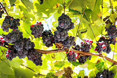 Clusters of purple grapes hanging from the vine; Caldaro, Bolzano, Italy - p442m1580458 by Michael Interisano