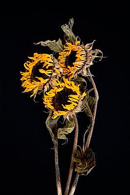 Verwitterte Sonnenblumen - p876m1057069 von ganguin