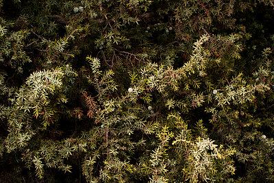 Juniper - p9510042 by Caterina Sansone
