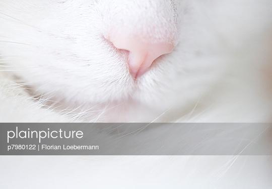 Weiße Katze - p7980122 von Florian Loebermann