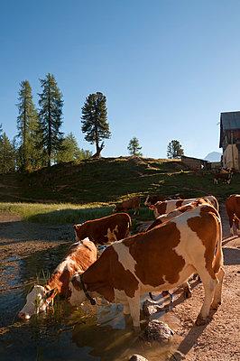 Kühe am Croda da Lago - p470m1481740 von Ingrid Michel