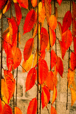 Colourful Autumn leaves against a brick wall - p1047m1510728 by Sally Mundy