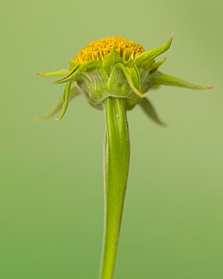 Low Angle View of Mexican Sunflower, Tithonia rotundifolia, No Petals against Green Background - p694m2068555 by Lori Adams