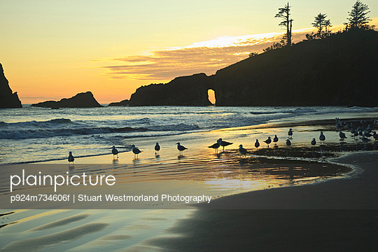 Seagulls on Second Beach at sunset near La Push, Olympic National Park, Washington, USA - p924m734606f by Stuart Westmorland Photography