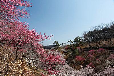 Plum blossoms - p307m1012007f by Tetsuya Tanooka