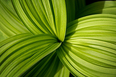 Bear grass lily leaves - p4428450f by Design Pics