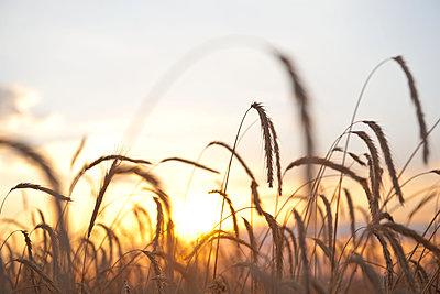 Reifes Getreidefeld im Sonnenuntergang - p533m1496776 von Böhm Monika