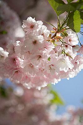Flowering cherry blossom (sakura) London UK - p349m695303 by Jon Day