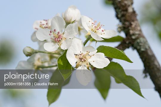 White apple blossoms - p300m1581358 von Claudia Rehm
