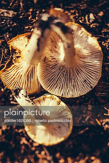 Three mushrooms in the woods - p968m1028395 by Roberto Pastrovicchio