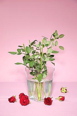 Eine Rose ist eine Rose - p237m1136908 von Thordis Rüggeberg
