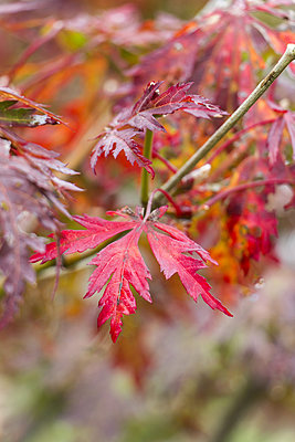 Red leaves of Fullmoon Maple - p300m998481f by JuNi Art