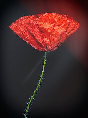 Poppy blossom - p401m2185700 by Frank Baquet