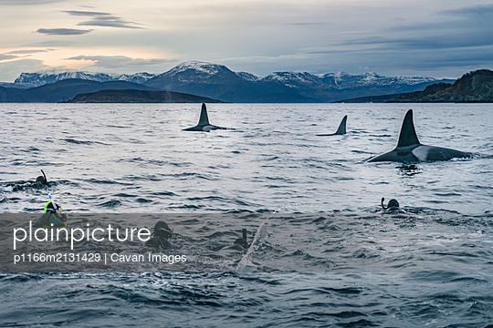 Snorkeling with Massive Killer Whales - p1166m2131429 by Cavan Images
