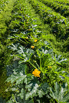 Detail of rows of zucchini plants, yellow flowers dot the rows; Palmer, Alaska, United States of America - p442m2058072 by Kevin G. Smith