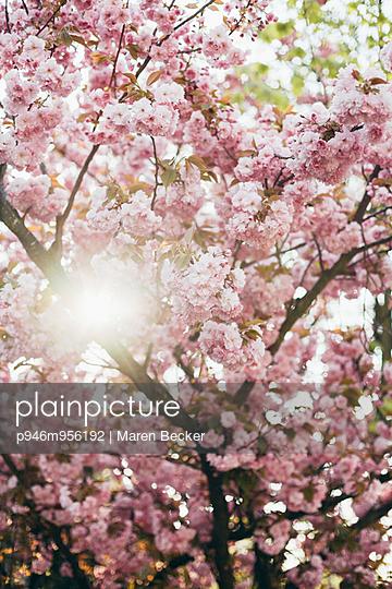 Blühender Kirschbaum - p946m956192 von Maren Becker