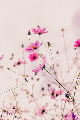 Pink blossoms, flowering meadow - p879m2284094 by nico