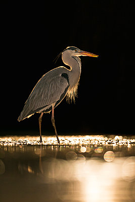 Grey Heron  wading, Kiskunsag National Park, Hungary - p884m1145409 by John Gooday/ NIS