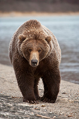 Grizzly Bear - p884m864125 by Matthias Breiter