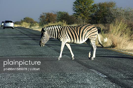 Zebra überquert die Straße - p1486m1585078 von LUXart