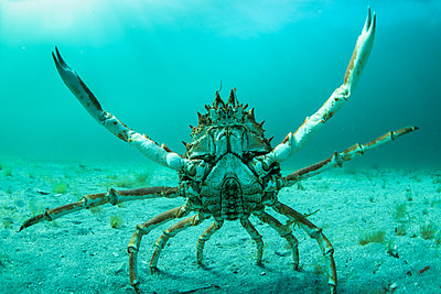 Spider crab in fighting pose, Inishmore, Aran Islands, Ireland - p429m2019330 by George Karbus Photography