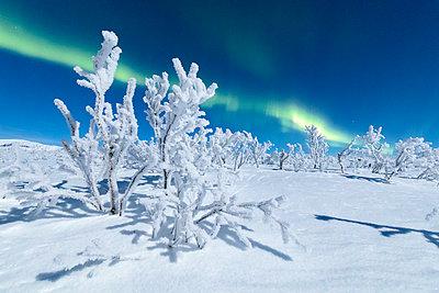 Frozen trees covered with snow under the Northern Lights (Aurora Borealis), Abisko, Kiruna Municipality, Norrbotten County, Lapland, Sweden, Scandinavia, Europe - p871m1499886 by Roberto Moiola