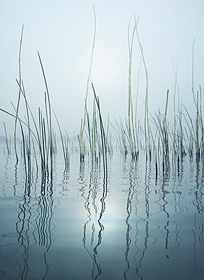 reeds - p984m2020659 by Mark Owen