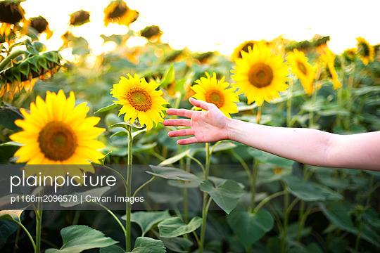Girl's hand opposite the sunflower field - p1166m2096578 by Cavan Images