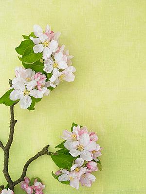 Apfelblüte - p1115m890256 von Nikolai Buroh