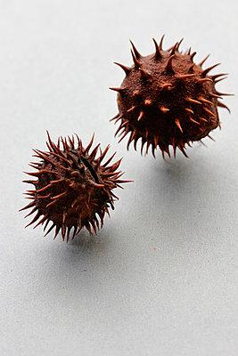 Chestnut shells - p450m1058308 by Hanka Steidle