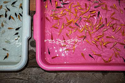 Kleine Zierfische zum Verkauf auf dem bekannten Chatuchak Markt in Bangkok - p728m2099850 von Peter Nitsch