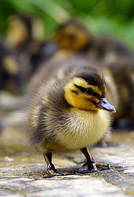 Mallard duckling one day old - p871m884452 by Tim Graham