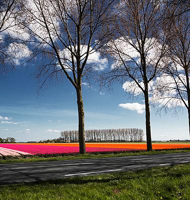 Bäume neben einem Tulpenfeld - p1032m1139040 von Fuercho