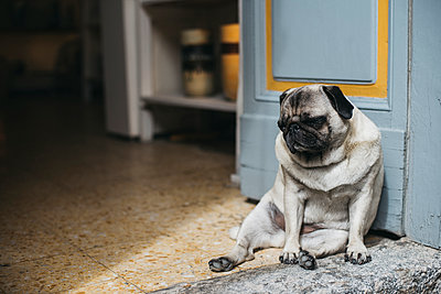 Pug sitting by door - p1166m1519251 by Cavan Images