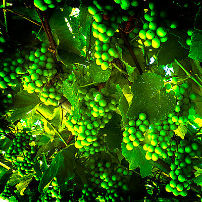 Bunch of green grapes  - p813m1481231 by B.Jaubert