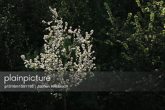 Cherry tree - p1016m1591195 by Jochen Knobloch