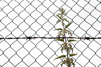 Stinging nettle behind wire netting fence - p1057m1041405 by Stephen Shepherd