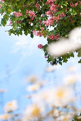 Marguerites under a chestnut tree - p533m1169631 by Böhm Monika