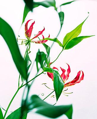 Blühende Gloriosa - p7810073 von Angela Franke
