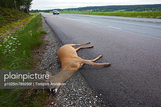 Dead dear with a car on the asphalt country road in background - p1025m789256f by Torbjörn Arvidson