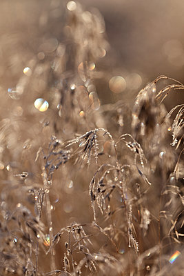 morning dew on wheat grass with light sparkles - p1014m1443014 by Jeff Hornbaker