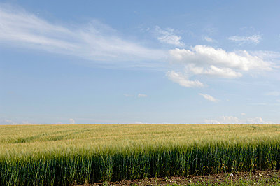 Barley (hordeum) field - p3006977f by Claudia Rehm