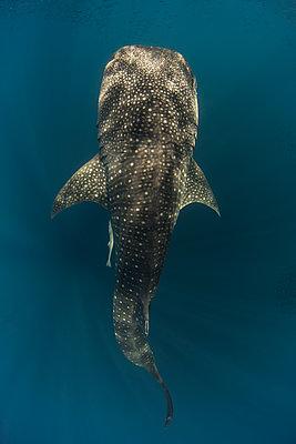 Indonesia, Papua, Cenderawasih Bay, Whale shark - p300m1140473 by Torsten Velden