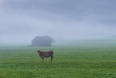 Germany, Bavaria, Allgaeu, cattle on an alpine meadow near Oberstdorf, morning fog - p300m2062888 by Walter G. Allgöwer