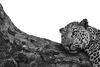 A leopard, Panthera pardus, lies down on a branch, looking out of frame, black and white, whited out background - p1100m2214470 by Mint Images